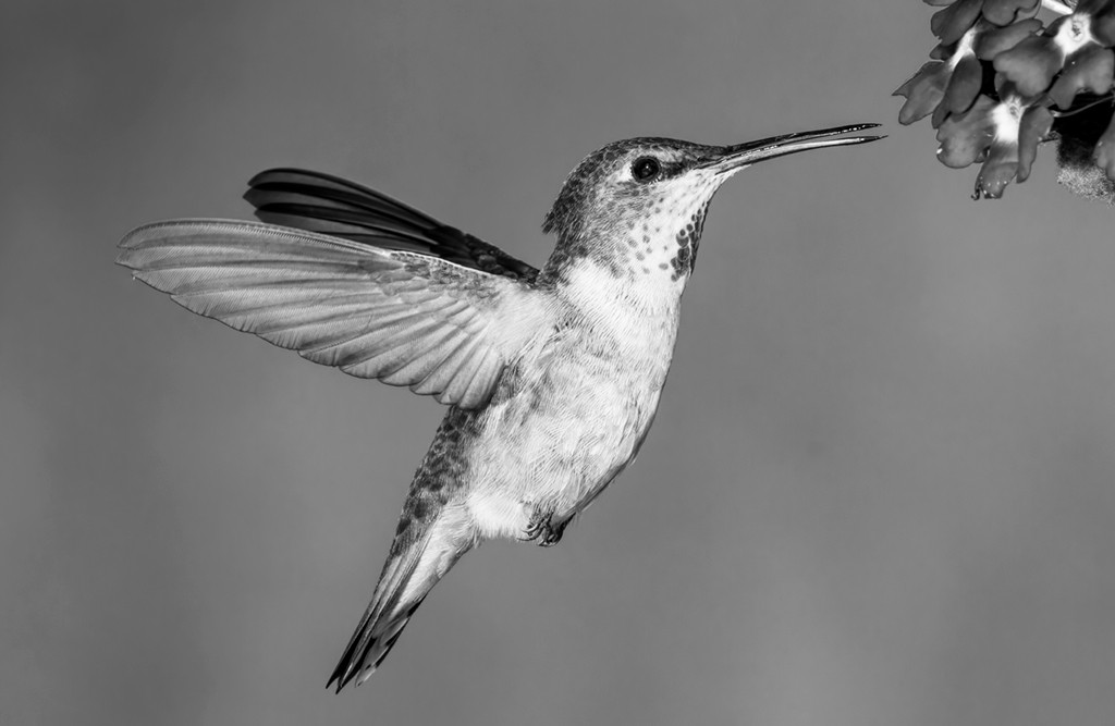 Hungry Hummer