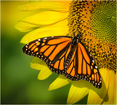 Monarch and Sunflower