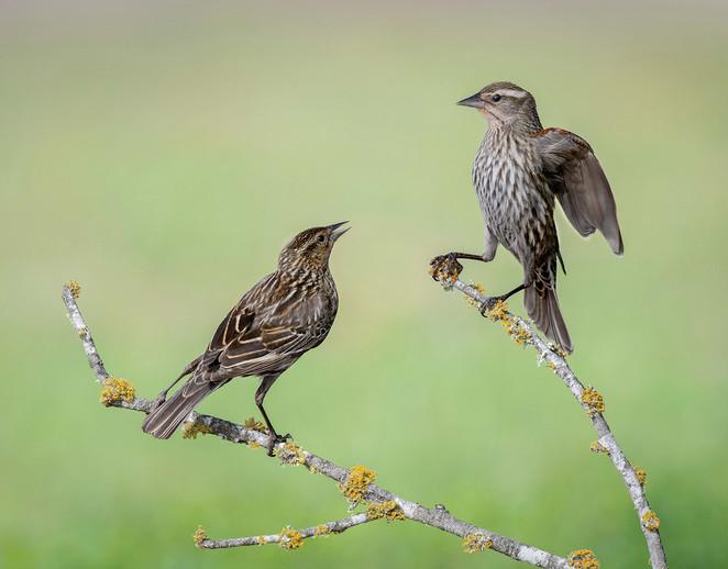Sparrow Feud By Larry Leonard HN Class AA
