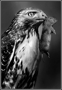 Red Tailed Hawk With Nictitating Membrane