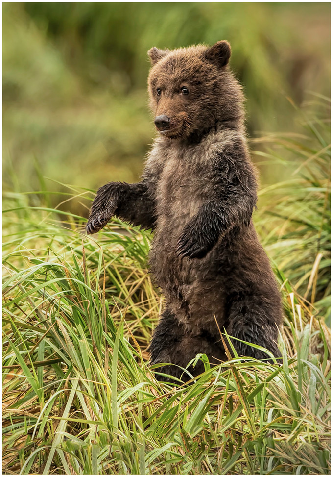 Little Grizz By Janet Schleeter Award POM Large Color A