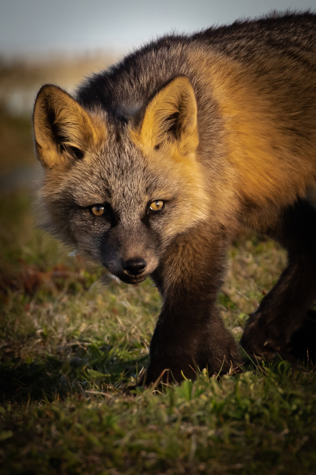 Curious Fox Kit By Chuck Guedelhoefer HM Large Color Class A