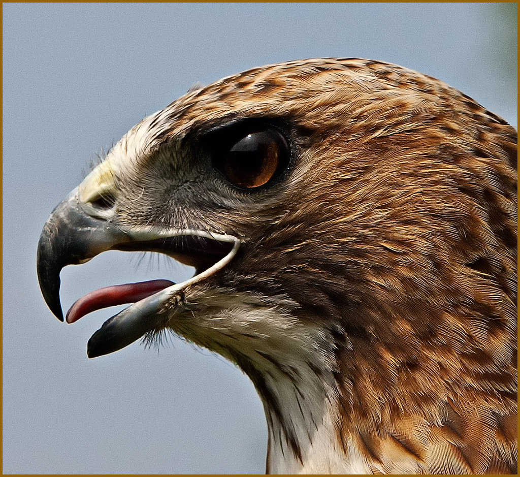 Red Shoulder Hawk Portrait