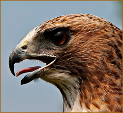 Red Shoulder Hawk Portrait