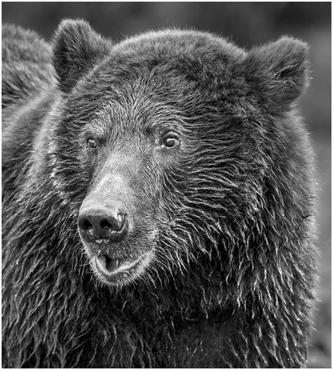 Grinning Bear