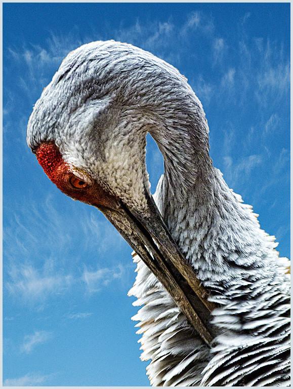 Preening Crane