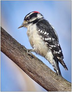 Downey Woodpecker On Branch