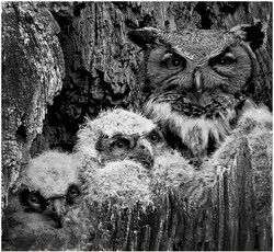 Great Horn Owl with Juveniles