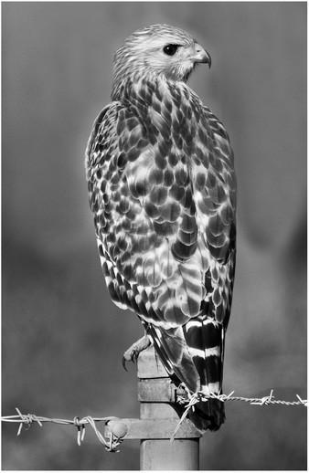 Red Shouldered Hawk By Janet Schleeter HM Larfge Mono A