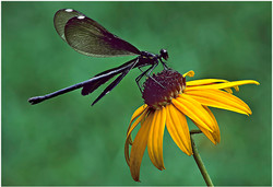 Demselfly on Composite