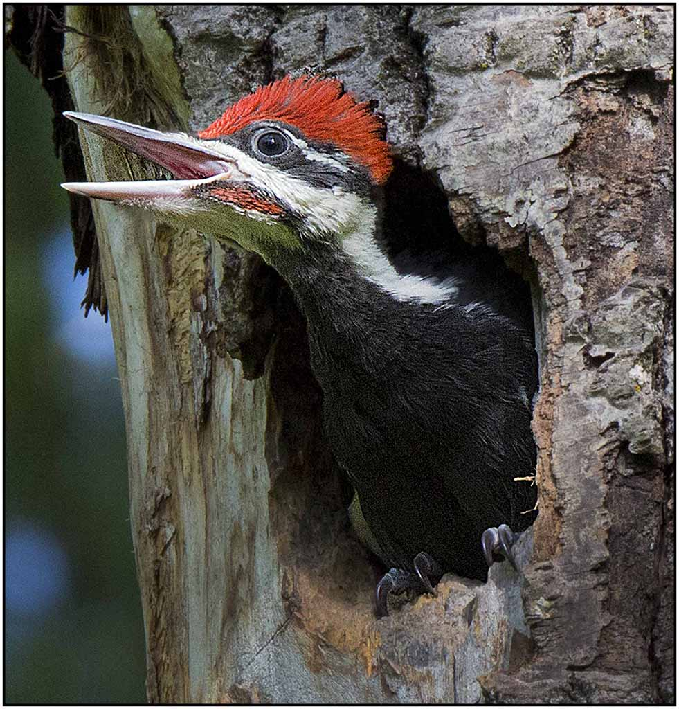 Pileated Woodpeckers Nest AWD POM Lg Color A 11-16