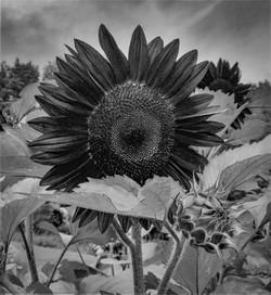 Fuzzy Stem Sunflowers