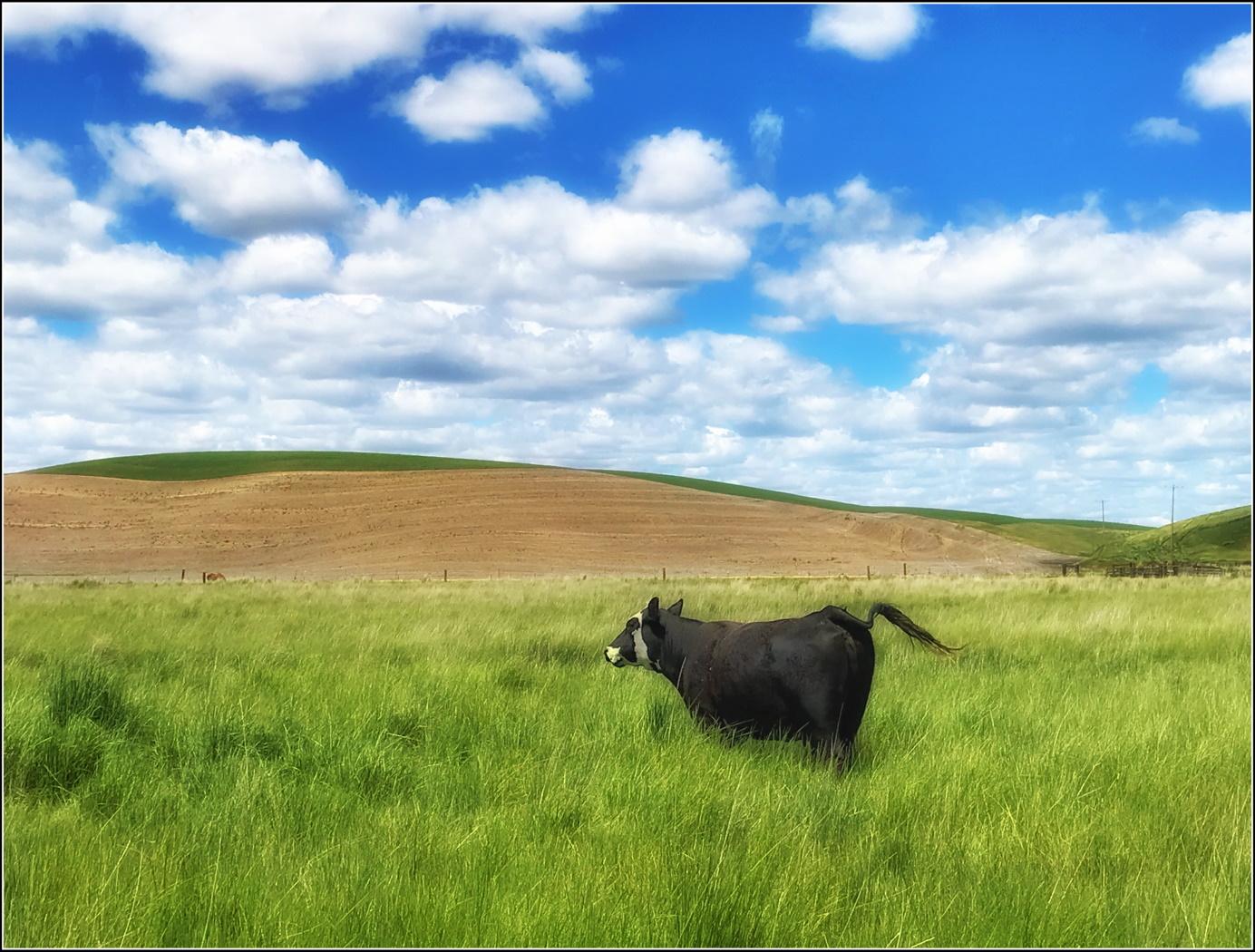 AUG-WUCHON-A2-A HAPPY COW