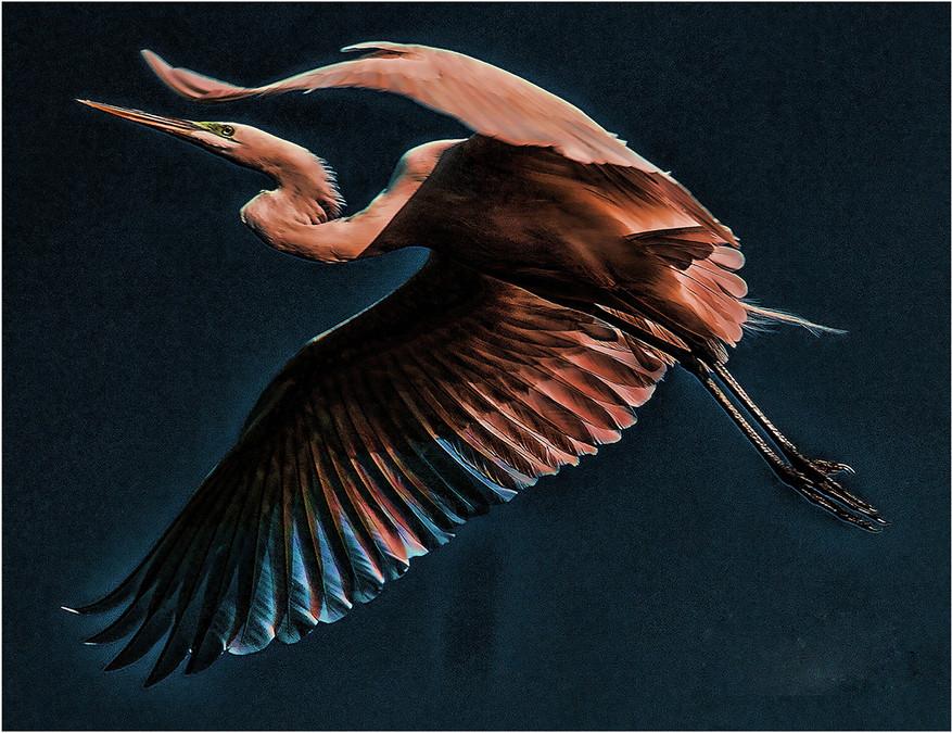 Soaring Great Egret