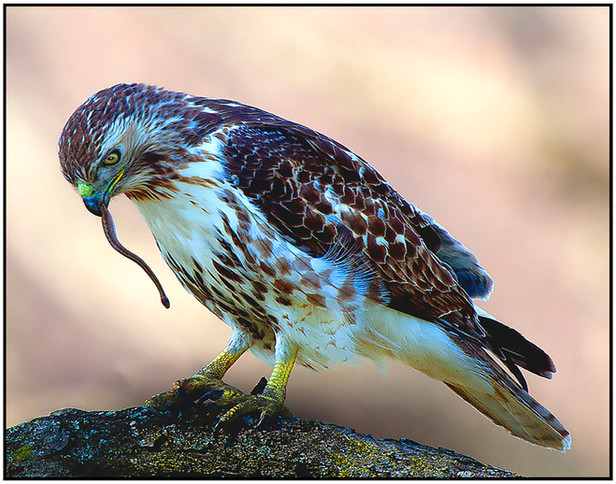 Red Tailed hawk With Snake
