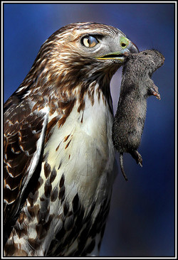 Red Tailed Hawk With Membrane