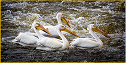 White Pelican's in Rough Water