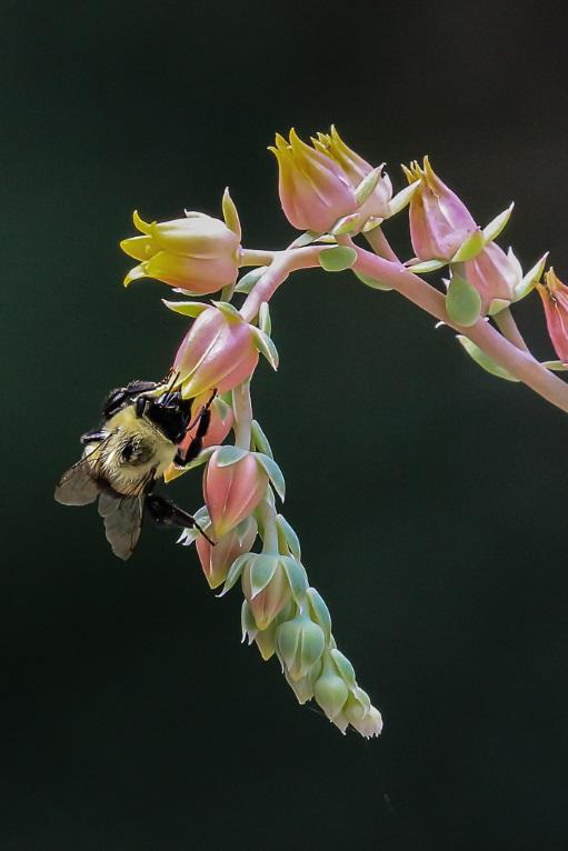 Succulent Bee