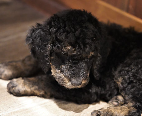 Wisconsin available Moyen Small Standard Poodles  Champian