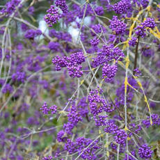 Profusion Beautyberry