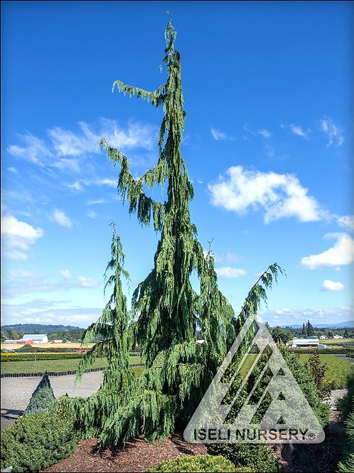 Cypress - Jubilee