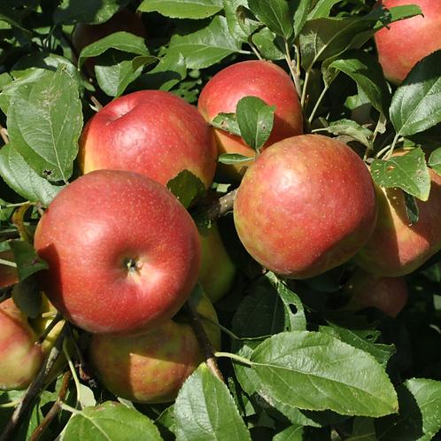 Apple - Honeycrisp
