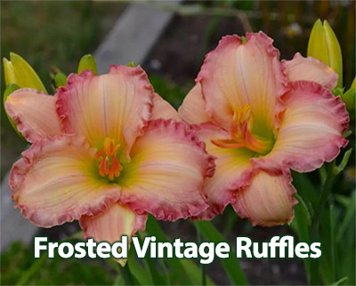 Frosted Vintage Ruffles