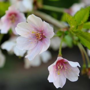Little Twist Flowering Cherry