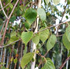 Betula Birch