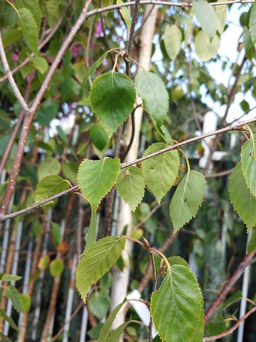 Birch - Betula