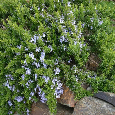 Prostrate Rosemary