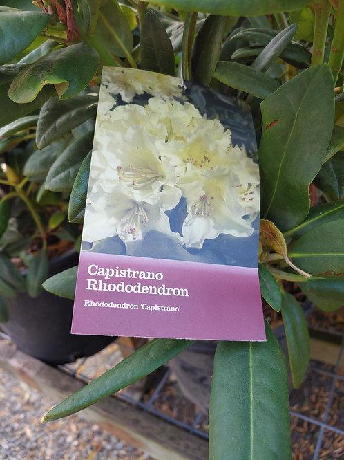 Rhododendron - Capistrano
