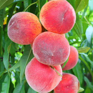 Frost Peach