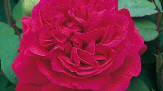Rose - Tess of the d'Urbervilles