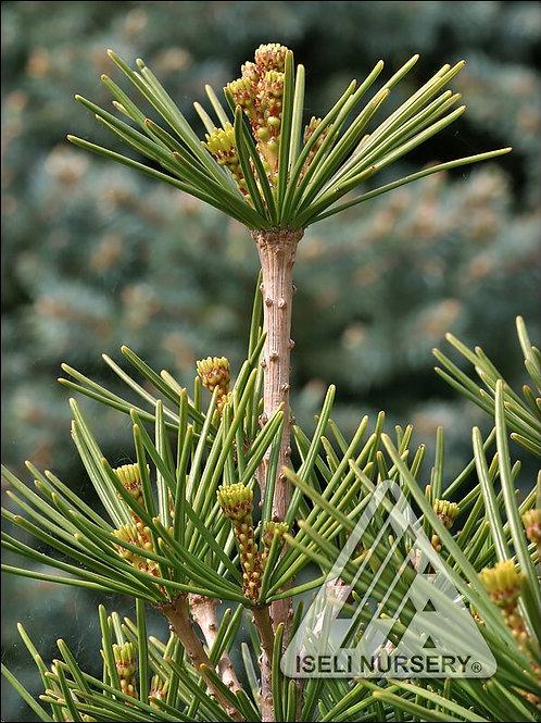 Japanese Umbrella Pine - Green Star
