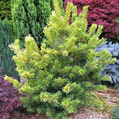 Japanese White Pine - Goldilocks