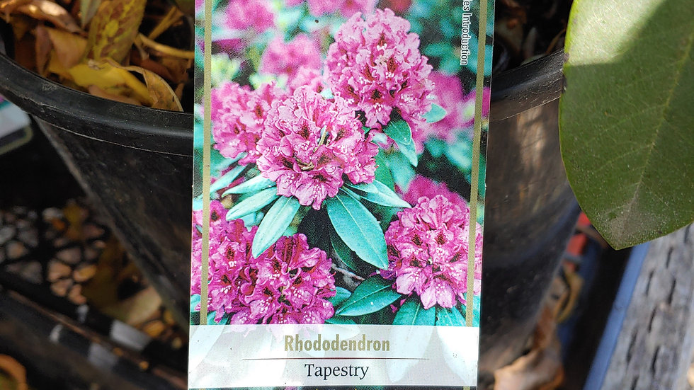 Rhododendron - Tapestry