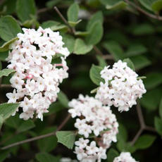 Korean Spice Viburnum