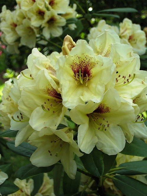 Rhododendron - Lemon Dream