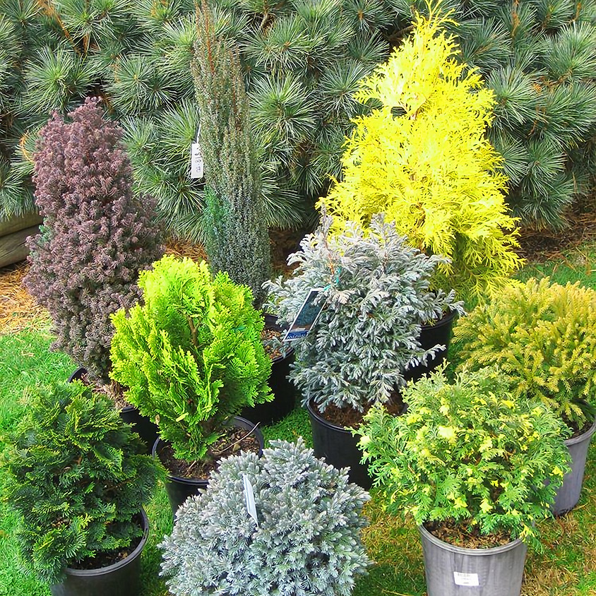 The ABC's Of Dwarf Conifers