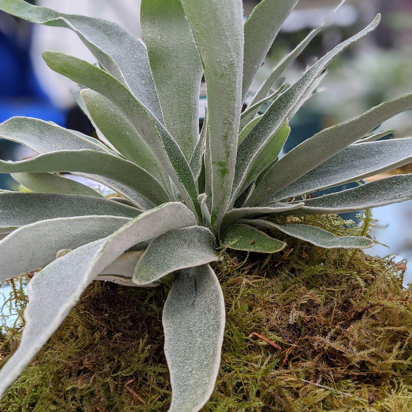 Mounting Staghorn Ferns with Kat