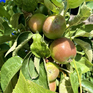 Many Apple Trees