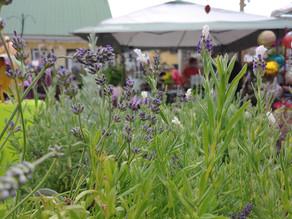 Lavender Days at Garden Spot Nursery