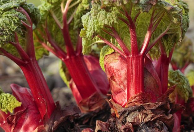 Crimson Red Rhubarb