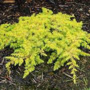 Juniperus conferta