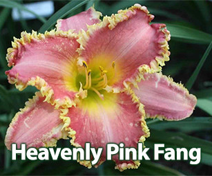 Heavenly Pink Fang