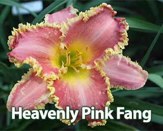 Heavenly Pink Fang