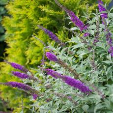 Miss Violet Butterfly Bush