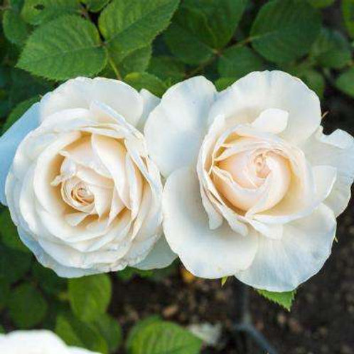 Rose - Easy Spirit