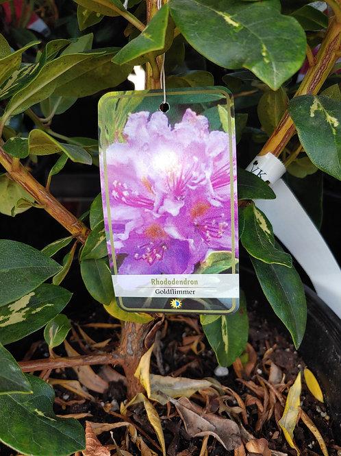 Rhododendron - Goldflimmer